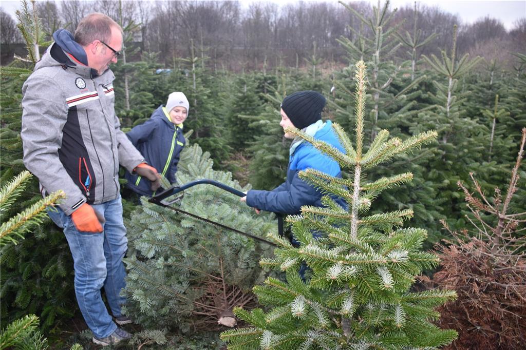 Weihnachtsbaum Fällen.Mit Auge Baumsäge Und Schweiß Zum Perfekten Weihnachtsbaum