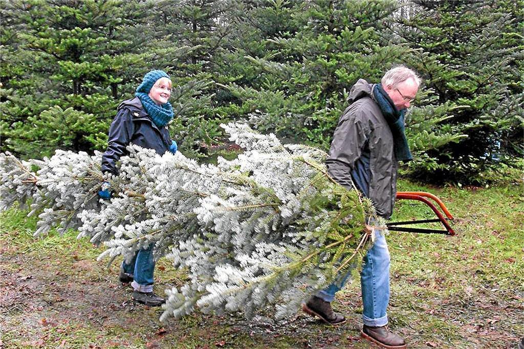 Weihnachtsbaum Selber Fällen.Weihnachtsbäume Jetzt Noch Selber Schlagen Gewusst Wo